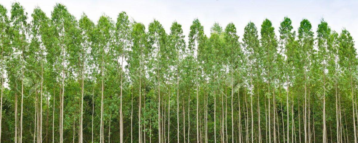 14212126-El-eucalipto-de-bosques-en-Tailandia-plats-para-la-industria-papelera-Foto-de-archivo